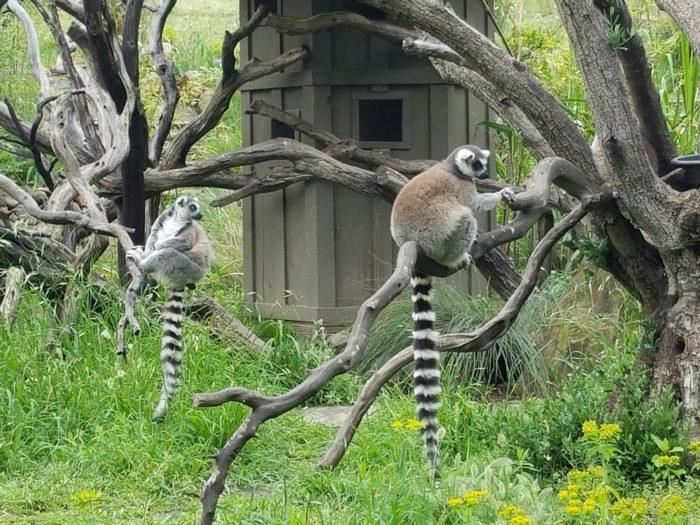 lemurs-700x525